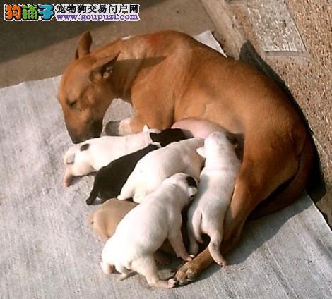 常年出售牛头梗 专业繁殖犬舍出售纯种高品质牛头梗犬