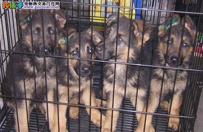纯种德牧繁殖出售 德牧幼犬可办理血统证 种公对外配种