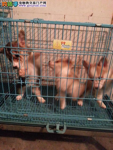女王最爱 柯基犬 柯基幼犬 包纯种健康 威尔士柯基犬