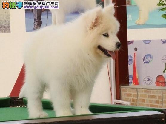 澳版萨摩耶犬犬场直销幼犬 萨摩耶价格图片多少钱有卖