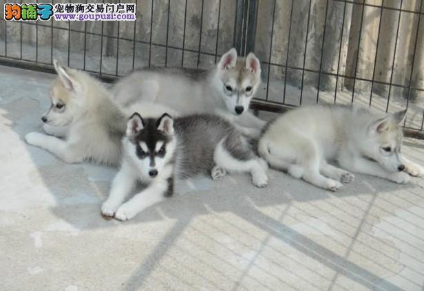 三火纯种哈士奇犬场哈士奇犬价图片多少钱