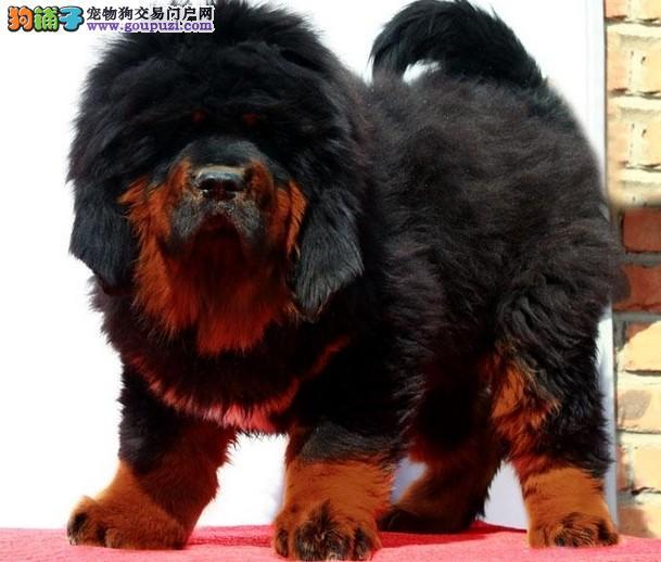 藏獒繁殖獒园出售藏獒幼犬藏獒幼崽价格