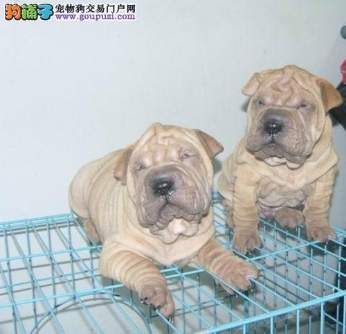 沙皮犬犬舍繁殖出售沙皮幼犬 价格 图片沙皮幼犬多少钱