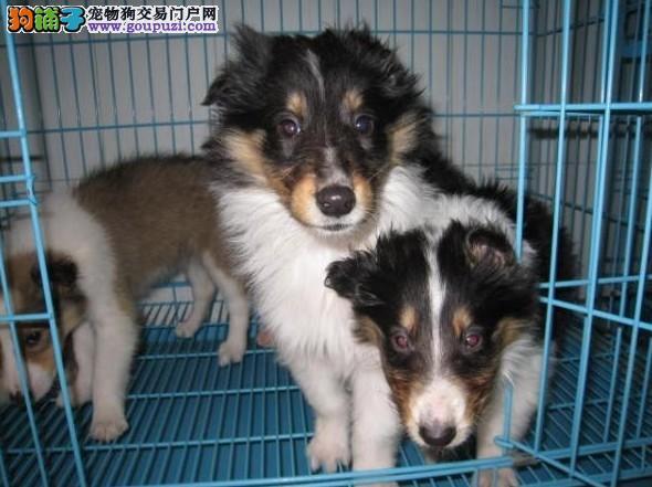 苏格兰牧羊犬犬舍出售苏牧幼犬 价格 图片 多少钱能买