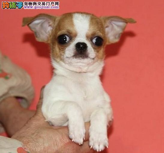 墨西哥吉娃娃犬舍 吉娃娃犬价格图片多少钱能买到纯种