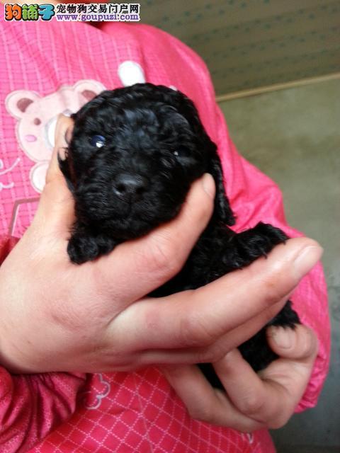 泰迪犬犬舍 泰迪幼犬价格 图片 多少钱在哪里买泰迪犬