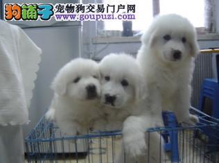 大白熊犬基地繁殖幼犬 价格 图片 多少钱在哪里买幼犬