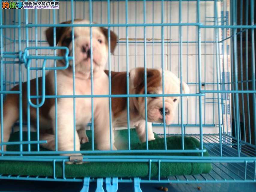 英国斗牛 法国斗牛犬舍出售幼犬 萨摩价格 图片 多少钱