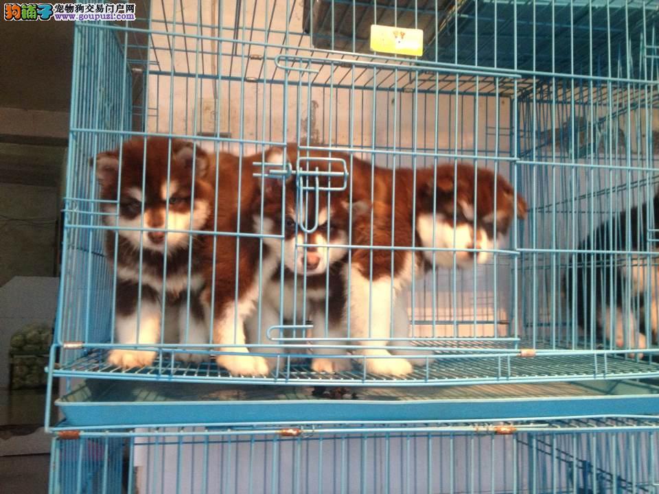 巨型阿拉斯加基地出售阿拉斯加雪橇幼犬价格图片多少钱