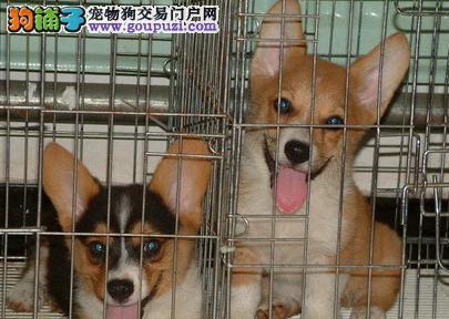 威尔士柯基犬舍繁殖柯基幼犬 价格 图片 多少钱 签协议