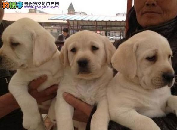 拉布拉多上海青浦哪里买 拉布拉多幼犬价格图片 多少钱