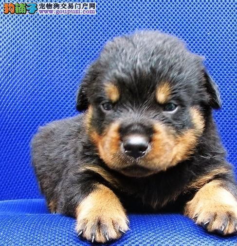 罗威那犬舍 罗威纳犬价格 罗威图片 多少钱 到哪里买