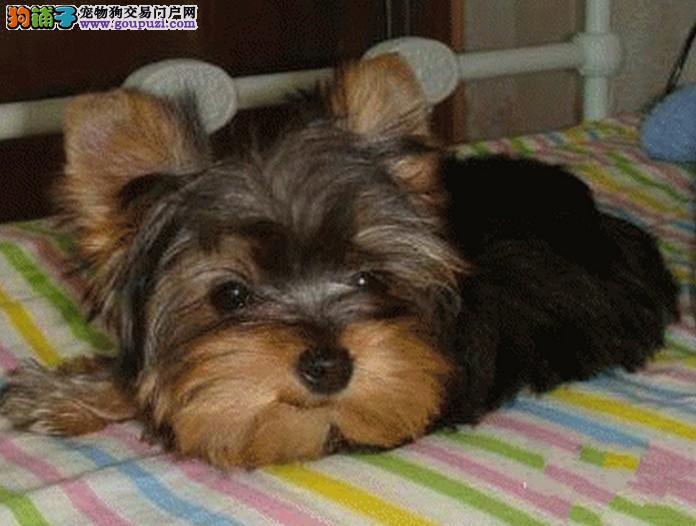 家养多只太原约克夏宝宝出售中微信咨询看狗狗视频