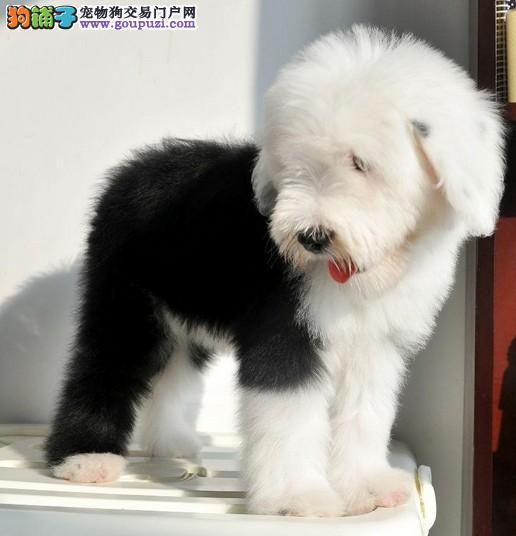 出售纯种古代羊犬幼犬健康保证信誉保证
