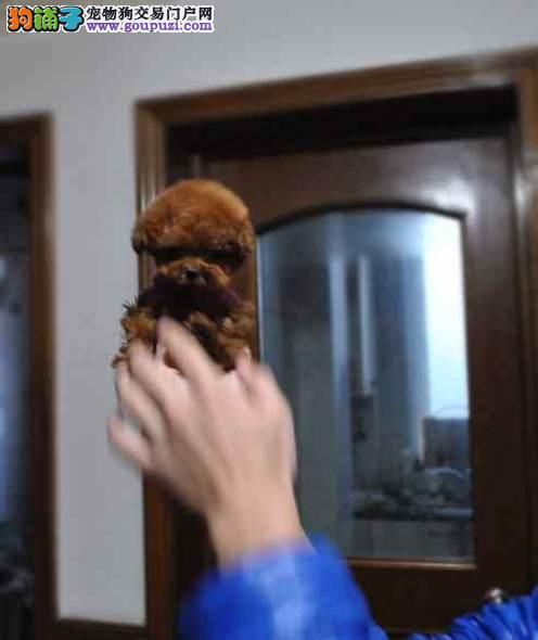 上海禹含犬业 诚信出售高品质泰迪犬 可以送货 签协议