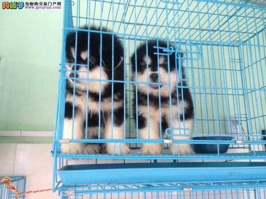 上海禹含犬业 出售高品质阿拉斯加犬 可以送货 签协议