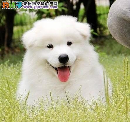 上海禹含犬业 出售高品澳版萨摩耶犬 可以送货 签协议