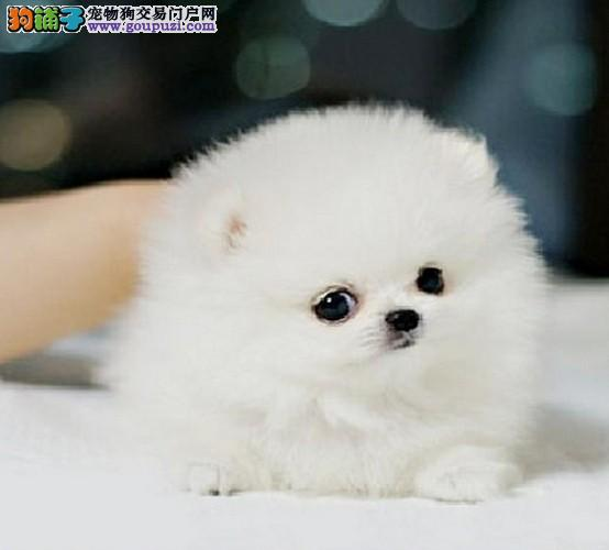 上海禹含犬业 出售高品质哈多利亚球形博美犬 签协议