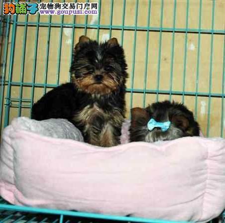 上海禹含犬业 出售高品质约克夏幼犬 可以送货 签协议