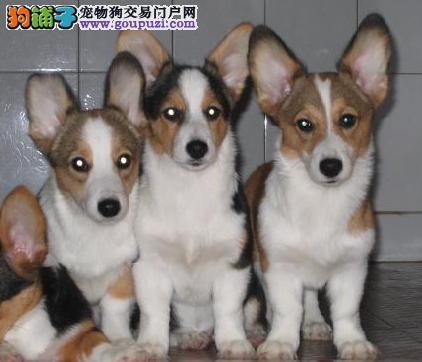 上海禹含犬业 出售高品质威尔士柯基犬 可送货 签协议