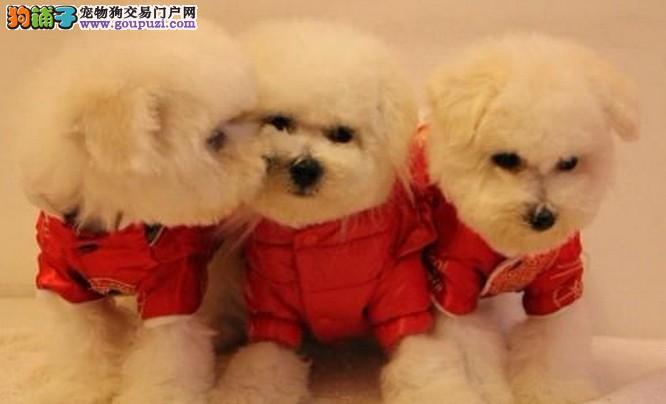 上海禹含犬业 出售高品质法国卷毛比熊犬可送货签协议