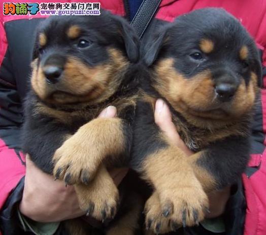 上海禹含犬业 出售高品质罗威那犬 可以送货 签协议