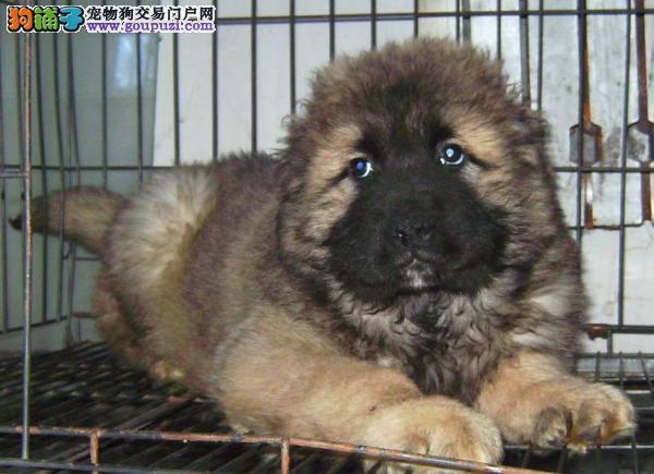 上海禹含犬业 出售高品质高加索牧羊犬 可送货签协议