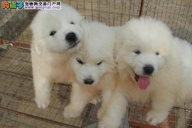 上海禹含犬业出售高品质大白熊犬 可以送货签协议配种