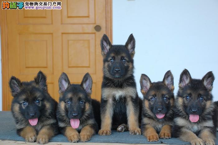 上海禹含犬业出售高品质德国牧羊犬 可送货签协议配种