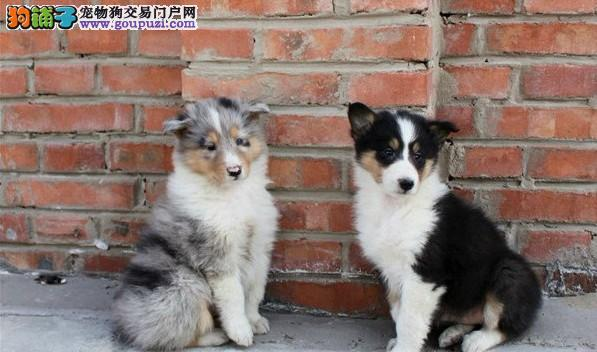 上海禹含犬业出售高品质苏牧幼犬可以送货签协议 诚信