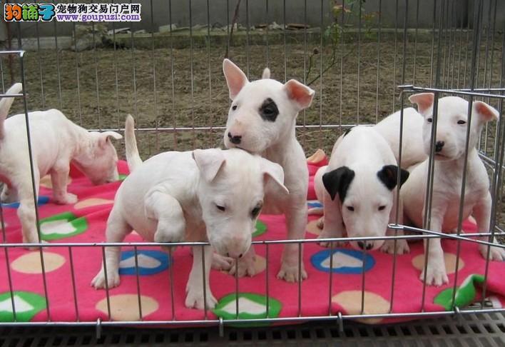 上海禹含犬业 出售高品牛头梗迪犬 可以送货 签协议