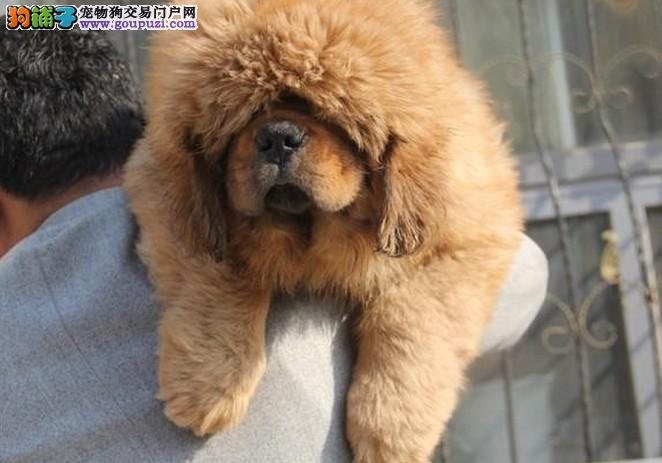 上海禹含犬业 出售高品质藏獒幼犬 可以送货 签协议