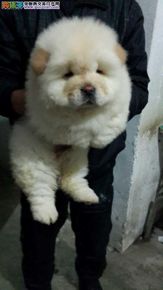 上海禹含犬业 出售高品质面包嘴松狮犬 可以送货签协议