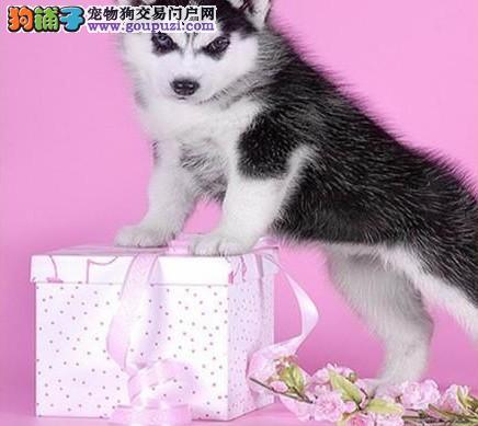 上海禹含犬业 诚信出售高品质哈士奇犬 可以送货签协议