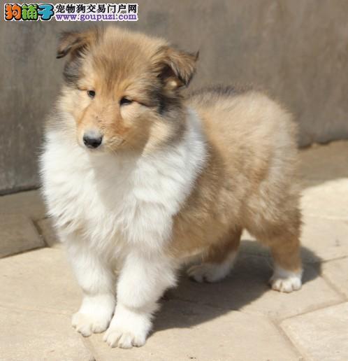 出售苏格兰牧羊犬幼犬、CKU认证绝对保障、签订终身合同