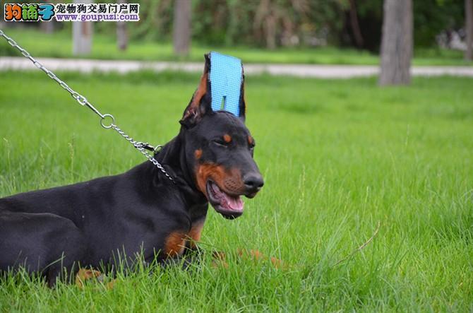 纯种杜宾犬,德系杜宾犬,血统保证