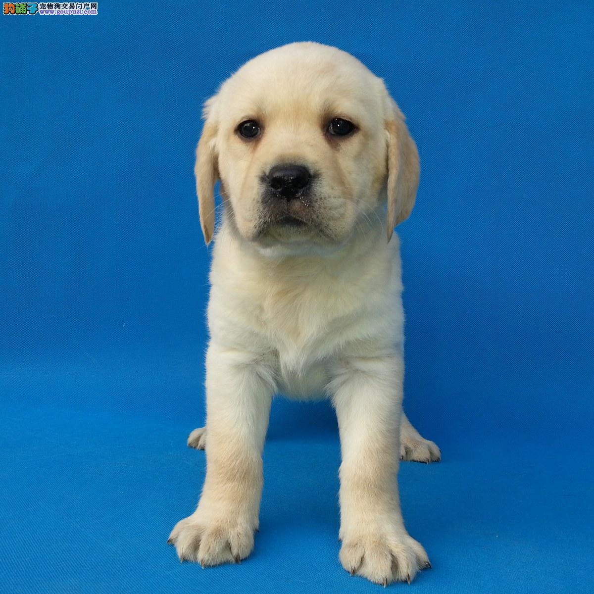 签协议奶油色白色纯种拉布拉多幼犬 cku认证极品黑色