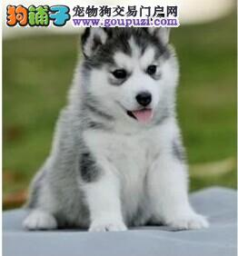 上门挑选7折优惠 哈士奇幼犬三火蓝眼哈士奇雪橇犬