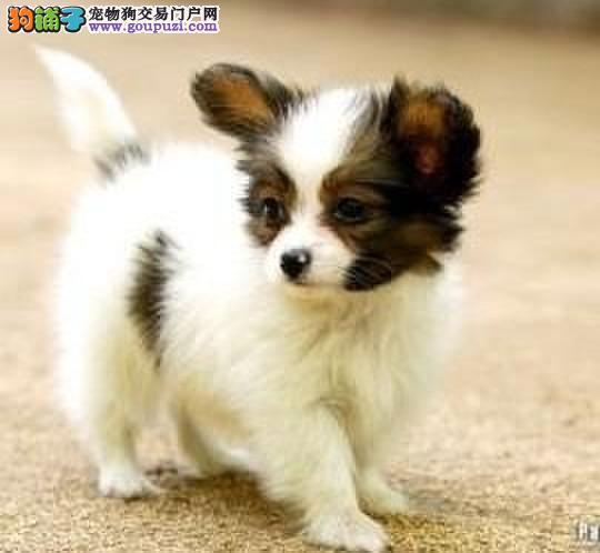 出售纯种蝴蝶犬宠物狗狗保健康可签协议纯种可见父母