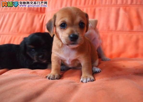 最大犬舍出售多种颜色腊肠犬微信看狗可见父母