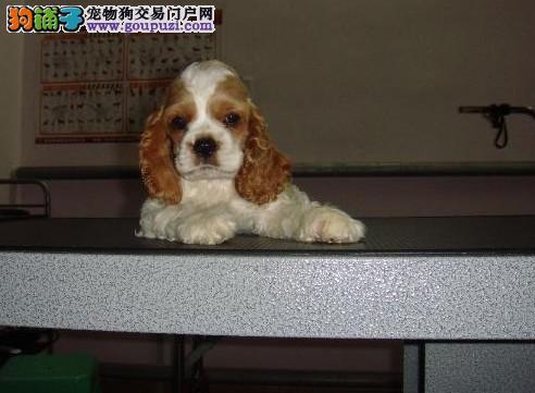 杭州哪里可以买到可卡犬 纯种可卡犬价格
