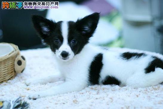 天津自家繁殖的纯种蝴蝶犬找主人三针疫苗齐全