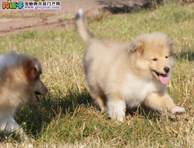 汕头直销纯苏牧犬保证纯种健康、终身质保