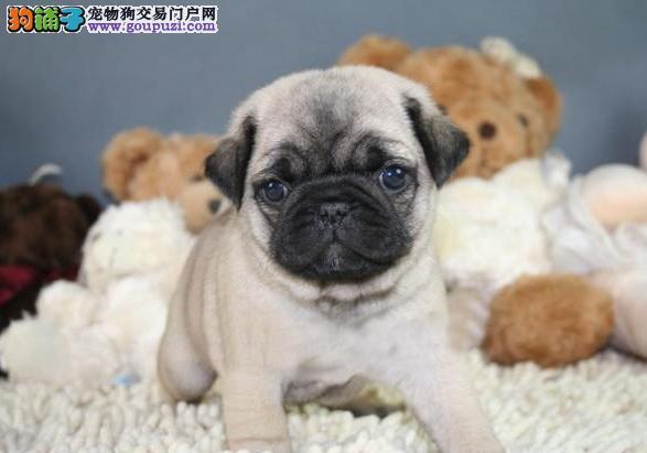 CKU认证犬舍 专业出售极品 巴哥犬幼犬诚信经营三包终身协议