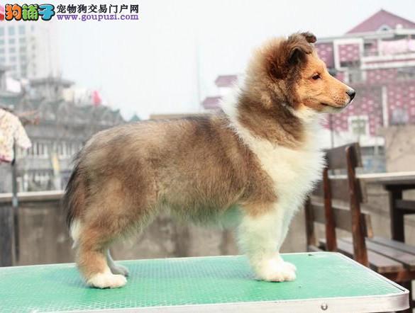 郑州最大犬舍出售多种颜色苏牧带血统证书签活体协议
