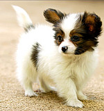 体态优美 步伐轻盈赛级蝴蝶犬宝宝 疫苗齐全 可运