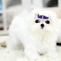 犬舍出售马尔济斯幼犬包健康纯种