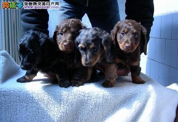 多种颜色的赛级腊肠犬幼犬寻找主人签订终身协议