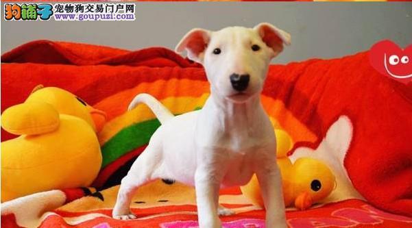 猛犬出售纯种牛头梗 牛头梗幼犬