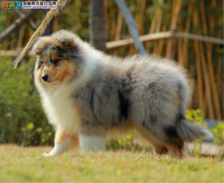 纯种苏格兰牧羊犬品相完美品质保证赛级血统纯正保健